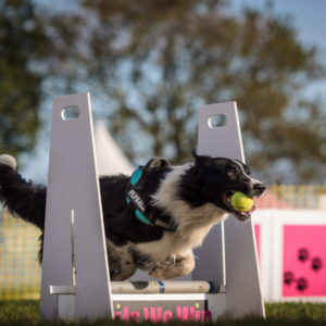 salto agility dog